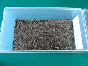 cendre pour les semis de tomate