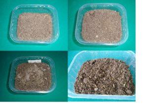semis d'oeillet