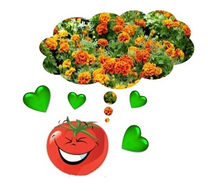 compagnonnage des tomates