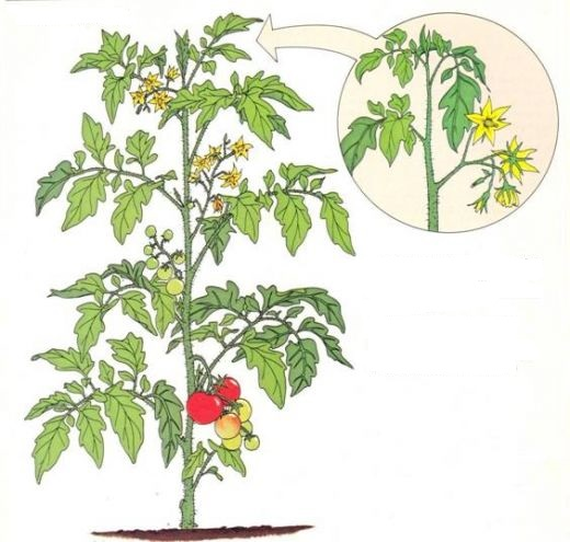 plant à croissance indéterminée