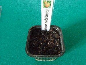 semis de tomate avec une étiquette