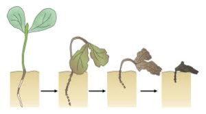 plante atteint par la fonte des semis
