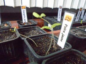 vos semis de tomate filent?