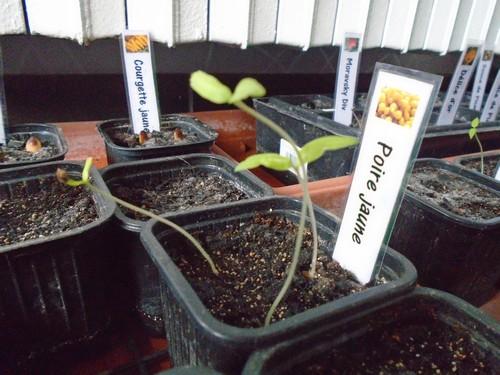 Vos premiers semis de tomate filent ? Que faire?