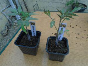 avant rempotage des plants de tomate douce de picardie