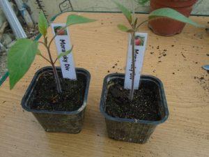 plant moravsky div