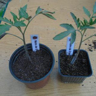 rempotage des plants de tomate noire de crimée
