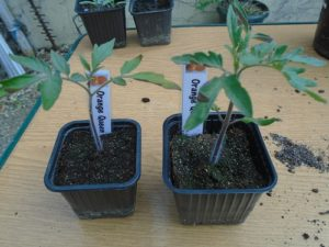 avant rempotage des plants de tomate orange queen