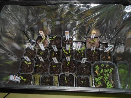 semis prêts à être en serre froide