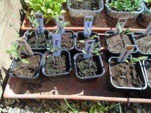 semis dans serre froide N°1
