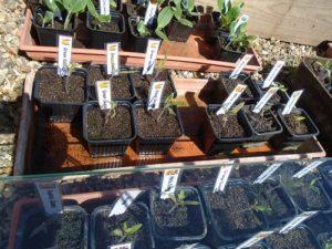 semis dans serre froide N°2
