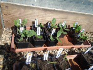 semis curcubitacae dans serre froide N°2