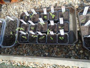 semis dans serre froide N°3