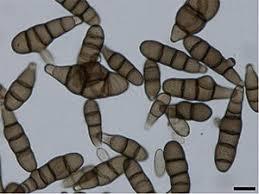 alternariose pathogène