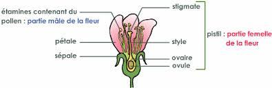 fécondation de la fleur pour la transformation des fleurs en tomate