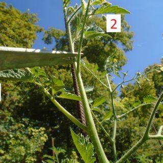 couper les têtes des plants de tomates
