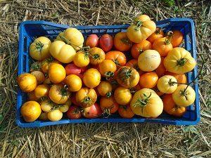 Tomate du jardin récolte du 23/08
