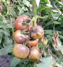 traiter les tomates mildiou sur tomate