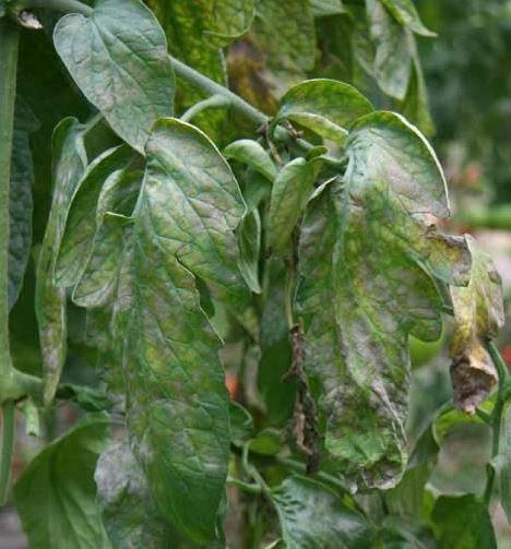 traiter les tomates odium