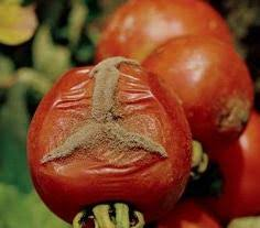traiter les tomates pourriture grise sur tomate