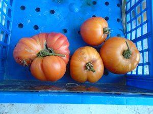 récolte saison des tomates ananas jaune