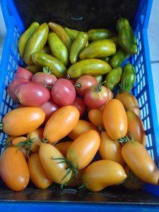 recolte tomate grushovka tomate banana orange tomate green sausage