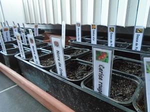 semis de tomate Noire de crimée et tomate cocktail rouge