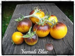 tomate yamali blue