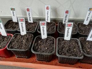 semis de tomate arrosé