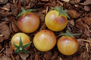 amethyst cream cherry pour préparer la plantation des tomates