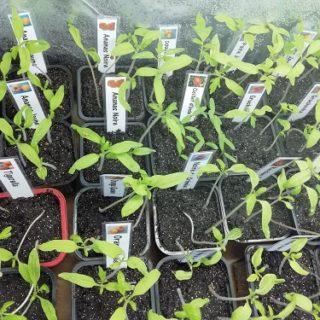 semis de tomate dans enceinte de croissance N°1