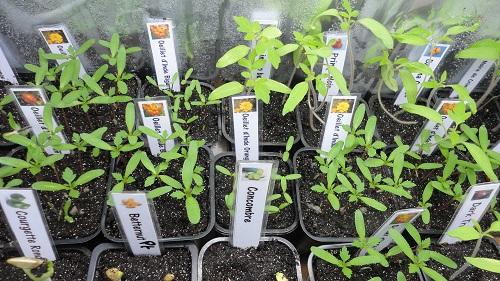 semis de tomate dans enceinte de croissance N°3