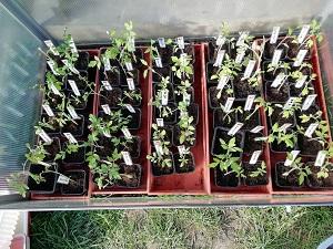 plant de tomate dans serre froide