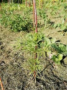 planter les tomates avec du cosmo