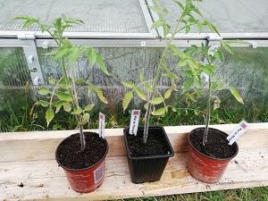 planter les tomates MM bien avancé
