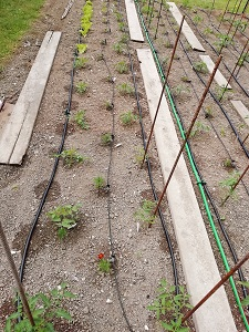 système arrosage plante compagnon 3