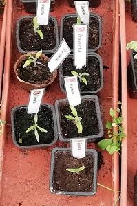 grushovka 1805 pour planter les tomates