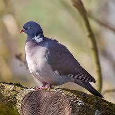 pigeon ramier pour protéger le potager
