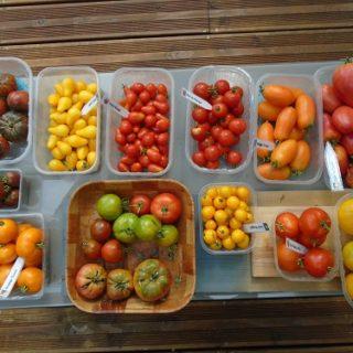 première récolte de tomates 2019