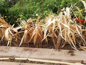 bambous pour protéger le potager