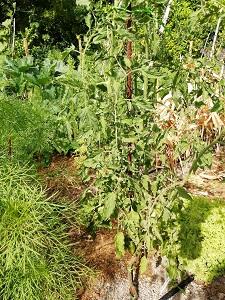 artisan green tiger 200719