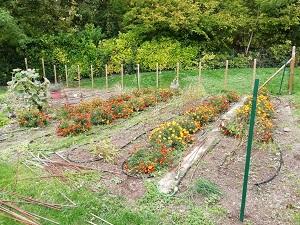 jardin sans tuteur pour nettoyer le matériel à tomates