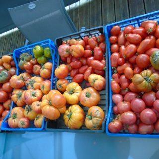 Récolte du 2109 saison des tomates
