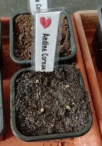 semis andine cornue