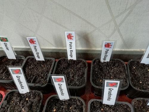 semis poire rouge