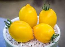 téton de vénus pour choisir les variétés de tomates