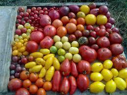 choisir les variétés de tomates