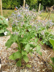 bourrache plant pour semer les plantes compagnes