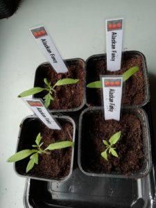 AF rempotés pour mettre les semis de tomate en serre froide