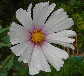 """cosmos blancs pour plantes """"compagnes"""""""